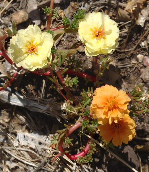 520px-Portulaca_grandiflora_mutant1.jpg