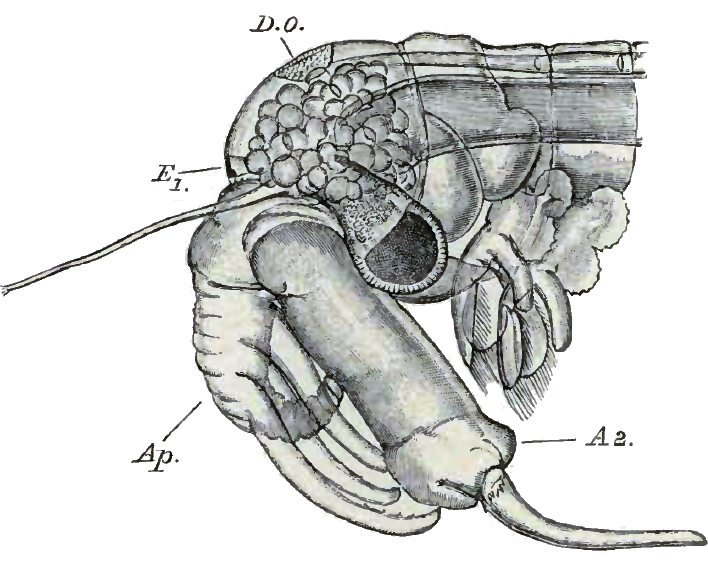 Chirocephalus_diaphanus_male_head.png