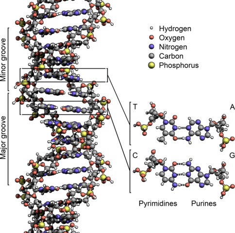 484px-DNA_Structure+Key+Labelled.pn_NoBB.png