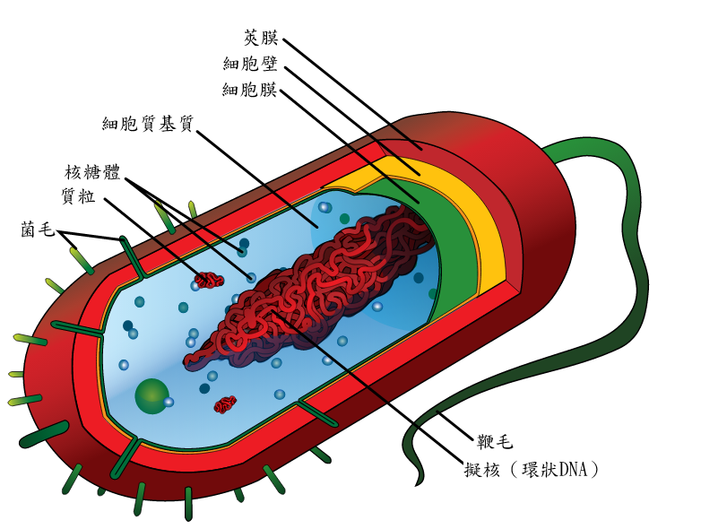Average_prokaryote_cell-_zh.png
